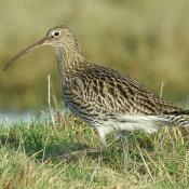 Curlew © www.northeastwildlife.co.uk